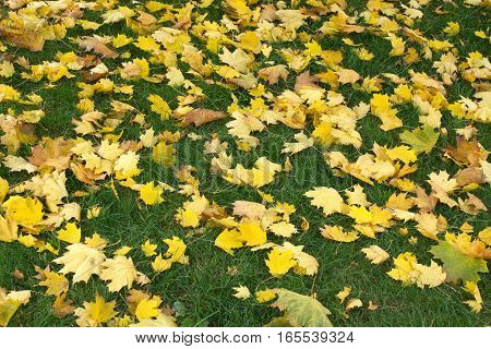 Carpet from many yellow maple leaves on green grass in autumn as a carpet