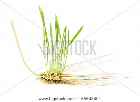 Sprouted wheat out of the heads.Isolated on a white background.
