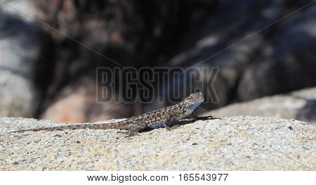 The distinctive blue patches are visible in this male Sagebrush Lizard (Sceloporus graciosus). Photographed at Yosemite National Park.