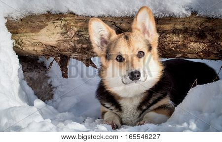 Dog belongs to the breed of Welsh Corgi. Dog on a walk in the winter forest.