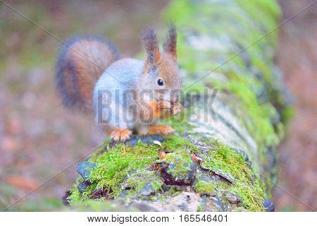 Cute squirrel eating a nut closeup. Winter fur.