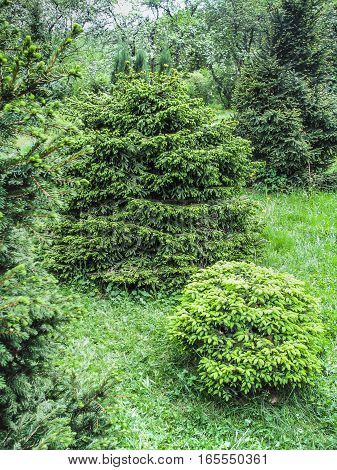Green firtrees in botanical garden in summer