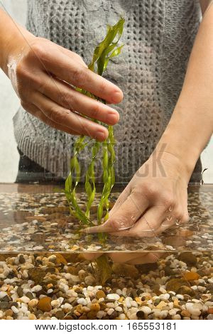 aquarist planting aquatic plant in aquarium closeup