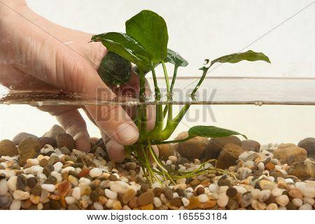 hands of aquarian planting aquatic plant in aquarium