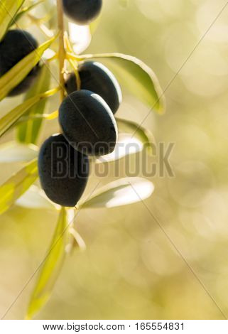 vertical image of warm summer light on olives hanging from a tree in a mediterranean country negative space for words and text on a bokeh background