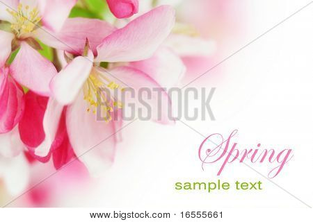 Fresh, pink, spring cherry tree blossoms on white background.