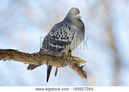 Pigeon in nature. Order: Columbiformes Family: Columbidae