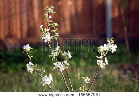 Apple-tree blossom with many white flowers in a garden in spring day