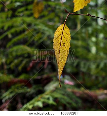 A detailed gold leaf with lots of texture and its veins hanging by itself from a branch after a light spring rain at Koosah Falls in the Willamette National Forest in Western Oregon.