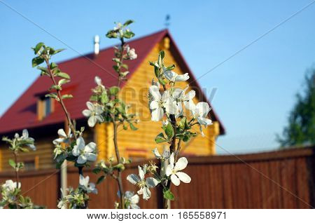 Branch of blossoming apple trees in a garden on background of a log country house on cloudless sunny spring day