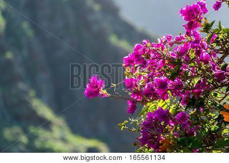 Bright purple Bougainvillea plant flowers in sunlight winter on Tenerife