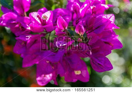 Bright purple Bougainvillea plant flowers in sunlight