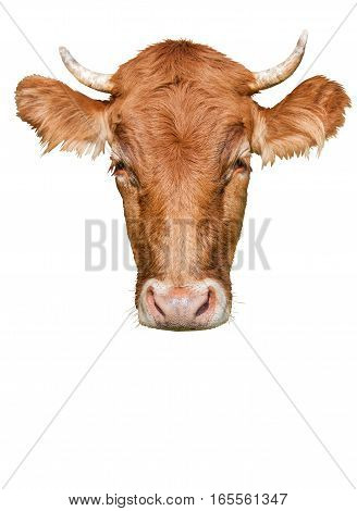 big head cow on a white background
