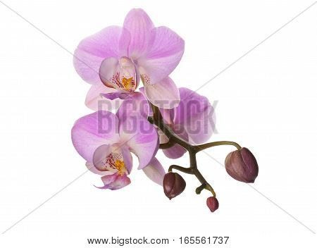 lilac orchid flower on a white background