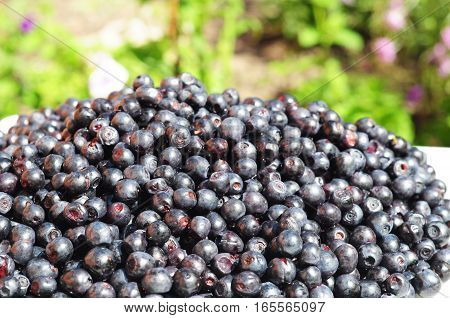 Close up on organic blueberry in beautiful garden background. Vaccinium myrtillus is a species of shrub with edible fruit of blue color commonly called bilberry whortleberry or European blueberry