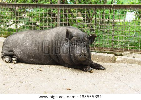 Home adult pygmy pig or mini-pig black in color