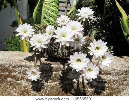 White Cactus Flowers in Or Yehuda Israel August 2 2008