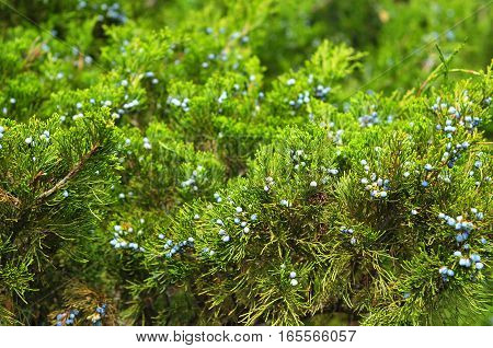 Close up on green juniper with juniper berry. Juniperus excelsa or Greek Juniper. Blue berries are used as spices and in medicine.