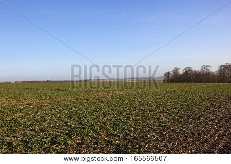 a young canola crop in chalky soil with winter woodland in a yorkshire wolds landscape under a clear blue sky in england