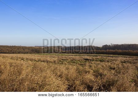 dry grasses and woodland with hills and hedgerows in a shooting yorkshire wolds landscape under a clear blue sky in winter