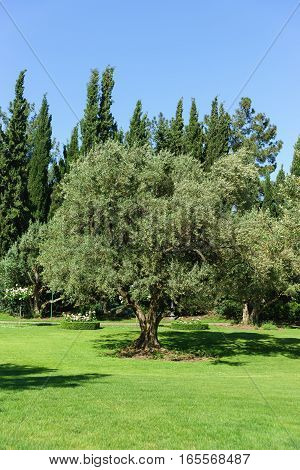 The European olive, or Oliva cultural, or European Olive, or Olive tree (lat. Olea europaea) is an evergreen tree; a species of Olive tree (Olea) Olive family (Oleaceae).