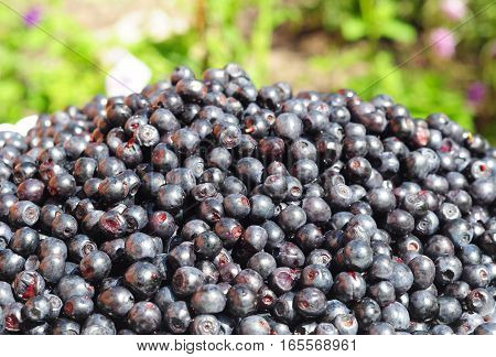 Close up on Blueberry with background and copy space. Vaccinium myrtillus is a species of shrub with edible fruit of blue color commonly called bilberry huckleberry or European blueberry.