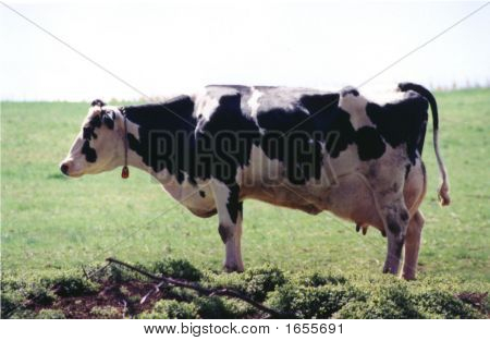 Cow Side View