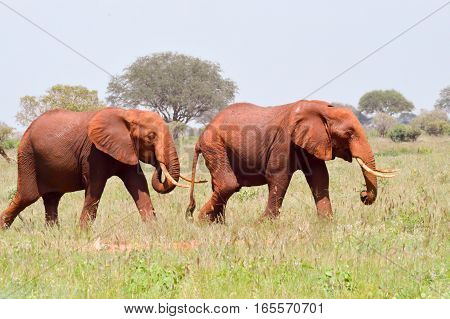 Two Red Elephants isolated in the savanna of Tsavo East Park in Kenya