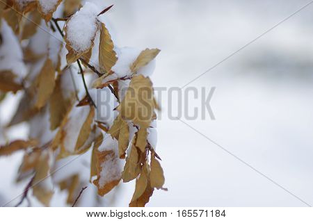 Beautiful frozen tree branch with dead leaves and snow. Close up of withered tree twig in winter.