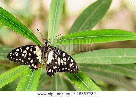 Papilio Demodocus African or Lemon Papilio (Papilio demodocus)