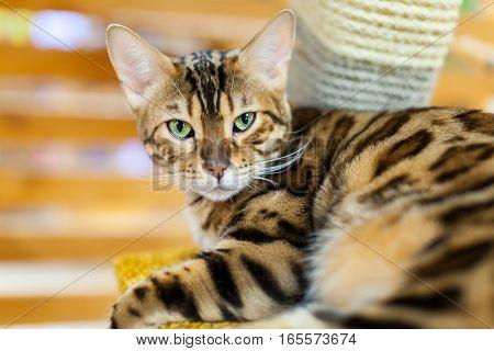 Close-up portrait of a gold Bengal cat