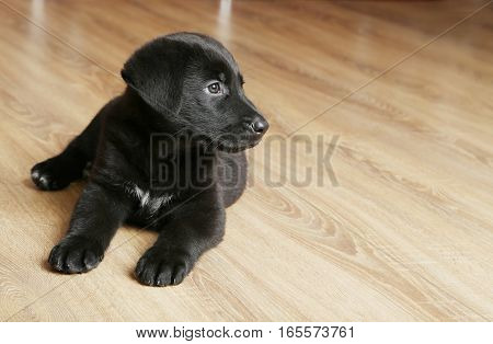 Beautiful black labrador puppy, on close up