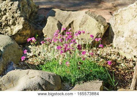 Seaside thrift (Armeria maritima (Mill.) Willd. Armeria vulgaris Willd) among the rocks