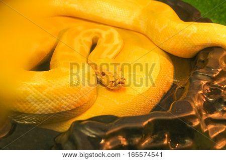 beautiful yellow python on a brown stone