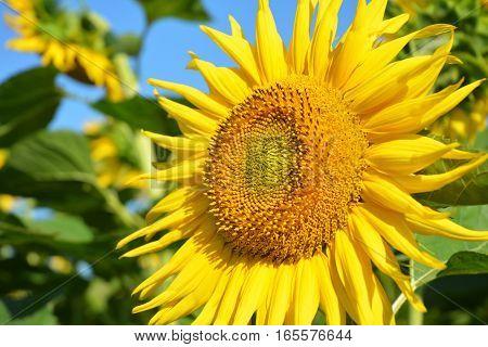 Beautiful Sunflowers. Sunflower field. Sweet Sunflower Honey Consept.