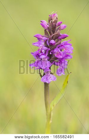 Southern Marsh Orchid (Dactylorhiza praetermissa) flowering in a Dune-Valley
