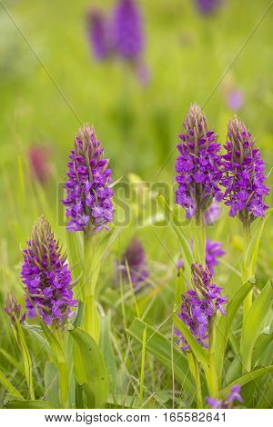 Southern Marsh Orchid (Dactylorhiza praetermissa) group flowering in a Dune-Valley
