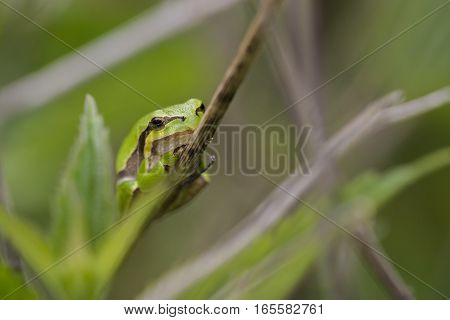 European Tree Frog (Hyla arborea) resting on a Stem in a Dune-Valley