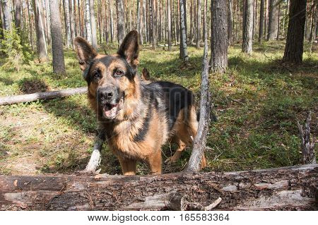Dog German Shepherd In The Forest