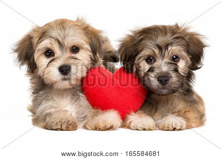 Two lover Valentine Havanese puppies lie together with a red heart isolated on white background