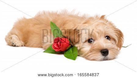 Cute lover havanese puppy dog lying with an artificial red rose isolated on white background