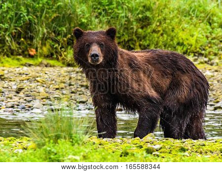 Grizzly Bear Looking for a meal in a River