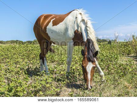 Pinto horse grazing near the sea in Apulia (Italy)
