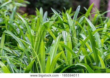 Pandanus leaf texture with green background. Nature concept.