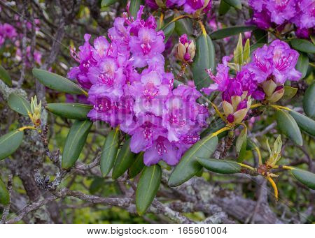 Rhododendron Flowers Bloom in Late Spring in Appalachian Mountains