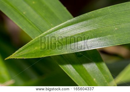 Pandanus leaf Asian aroma herb green nature background
