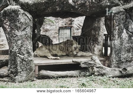 lion sleeping in stone house at zoo