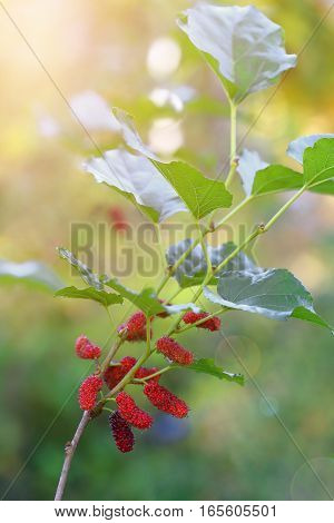Fresh of mulberries on tree at sunrise in nature background.