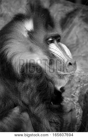 The mandrill (Mandrillus sphinx) is a primate of the Old World monkey (Cercopithecidae) family.