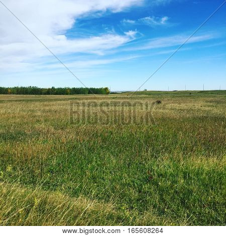 Prairie grass field with isolated group of trees, bright blue sky and white clouds background. Tall green, yellow and brown grass in flat field.